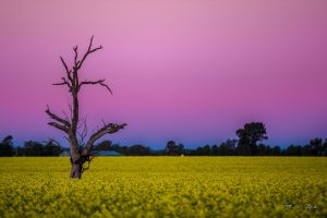 Canola fields, Wagga Wagga, New South Wales, Australia. Yellow flowers of the canola against a pink and blue sky at sunset with a bare tree in the middle of the yellow canola crop.