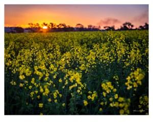 Canola field at sunset, Boorowa, New South Wales, Australia. Photographer: Theresa Hall.